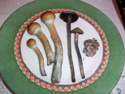 three kinds of magic mushrooms